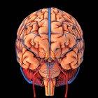Кровоснабжение мозга — стоковое фото