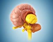Cervello umano sano — Foto stock