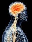 Cerebro humano y nervios cervicales - foto de stock