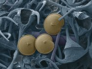 Tres dinoflagelados (azul), micrografo electrónico de barrido de color (SEM). Los dinoflagelados son protozoos unicelulares . - foto de stock