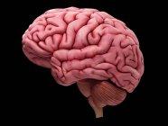 Sección transversal del cerebro humano - foto de stock