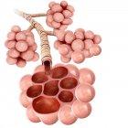 Estructura de alvéolos de los pulmones humanos - foto de stock