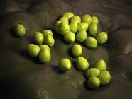 Colonia batterica Enterococcus — Foto stock