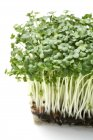 Close-up view of cress grass. — Stock Photo