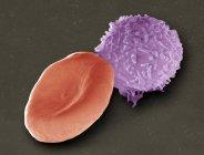 Farbige Rasterelektronenmikroskopie (sem) einer menschlichen roten Blutzelle (Erythrozyte, rot) und einer weißen Blutzelle (Leukoozyte, blau)). — Stockfoto