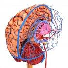 Suministro sanguíneo cerebral - foto de stock