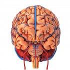 Suministro de sangre cerebral - foto de stock