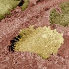 Cartílago hialino, un tejido conectivo semirrígido - foto de stock