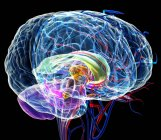 Мозжечок и мозолистого тела — стоковое фото