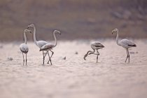 Стая более Фламинго в воде в Эйн Афик, Израиль — стоковое фото