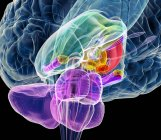 Estructuras del tronco encefálico y del cerebelo - foto de stock