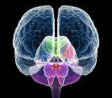 Cerebelo y cuerpo calloso - foto de stock