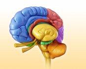 Estructuras cerebrales humanas - foto de stock