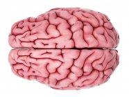 Anatomía cerebral interna humana - foto de stock
