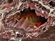 Micrógrafo electrónico de barrido coloreado (SEM) de una arteria seccionada que contiene glóbulos rojos (eritrocitos, rojos) ). - foto de stock