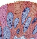 Epitelio de una trompa de Falopio - foto de stock