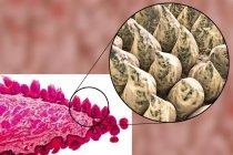 Superficie de la lengua, micrografía ligera e ilustración por ordenador . - foto de stock