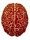 Anatomie cérébrale humaine — Photo de stock