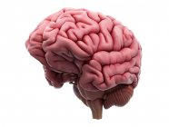 Menschliche Gehirnstruktur — Stockfoto