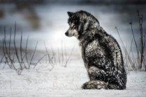 Siberian husky assis dans la neige en forêt venteux. — Photo de stock