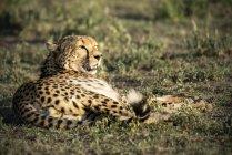 Ghepardo che riposa sulla terra nel Serengeti, Tanzania. — Foto stock