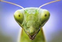 Cabeza de mantis rezando - foto de stock