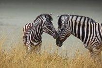 Матери и ребенка зебр в траве Этоша Пан, Намибия. — стоковое фото