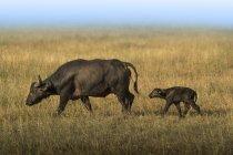 Büffelmutter und Baby auf dem Feld während der großen Wanderung in der Serengeti, Tansania. — Stockfoto