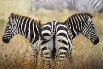 Duas zebras permanente no Prado Serengeti, Tanzânia. — Fotografia de Stock