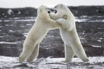 Polar bears fighting — Stock Photo