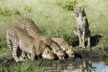 Гепарды питьевой воды отверстие в Серенгети, Танзания. — стоковое фото