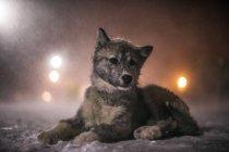 Eskimo dog pup resting in snow blizzard, Canada. — Stock Photo