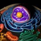 Estructura de orgánulos celulares - foto de stock
