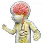 Cerebro y sistema nervioso del bebé - foto de stock