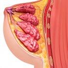 Anatomía del seno femenino - foto de stock