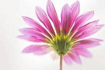 Nahaufnahme der Gerbera-Blume auf weißem Hintergrund. — Stockfoto