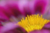 Close-up da flor do lírio de água. — Fotografia de Stock