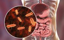 Ilustración digital del sistema digestivo humano y primer plano de la bacteria Escherichia coli . - foto de stock