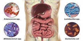 Varias bacterias normales en el intestino humano, ilustración digital . - foto de stock