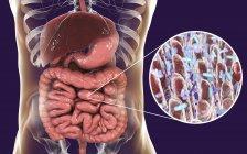 Ilustración digital del sistema digestivo humano y primer plano de las bacterias intestinales . - foto de stock