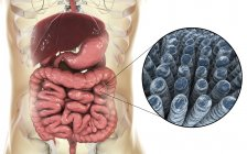 Ilustración digital del sistema digestivo humano y primer plano de las vellosidades intestinales . - foto de stock