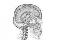 Silueta del cerebro humano y el cráneo, ilustración digital . - foto de stock