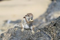Barbary ground squirrel eating cashew nut on rocks. — Stock Photo