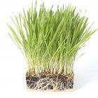 Primo piano di wheatgrass verde in bicchiere di plastica su priorità bassa bianca. — Foto stock