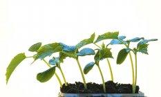 Primo piano di semenzali della pianta giovane che cresce nel terreno su priorità bassa bianca. — Foto stock