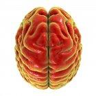 Cerebro humano rojo sobre fondo blanco, vista superior . - foto de stock