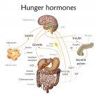 Conexión entre el cerebro y el estómago mientras que el apetito, ilustración conceptual . - foto de stock