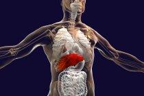 Silhueta humana com fígado selecionado, ilustração . — Fotografia de Stock