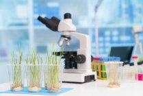 Grünes Gras wächst in Plastikbechern auf Labortisch mit Mikroskop für die Agrarforschung. — Stockfoto