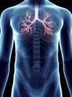 Ilustración de bronquios en silueta masculina transparente . - foto de stock